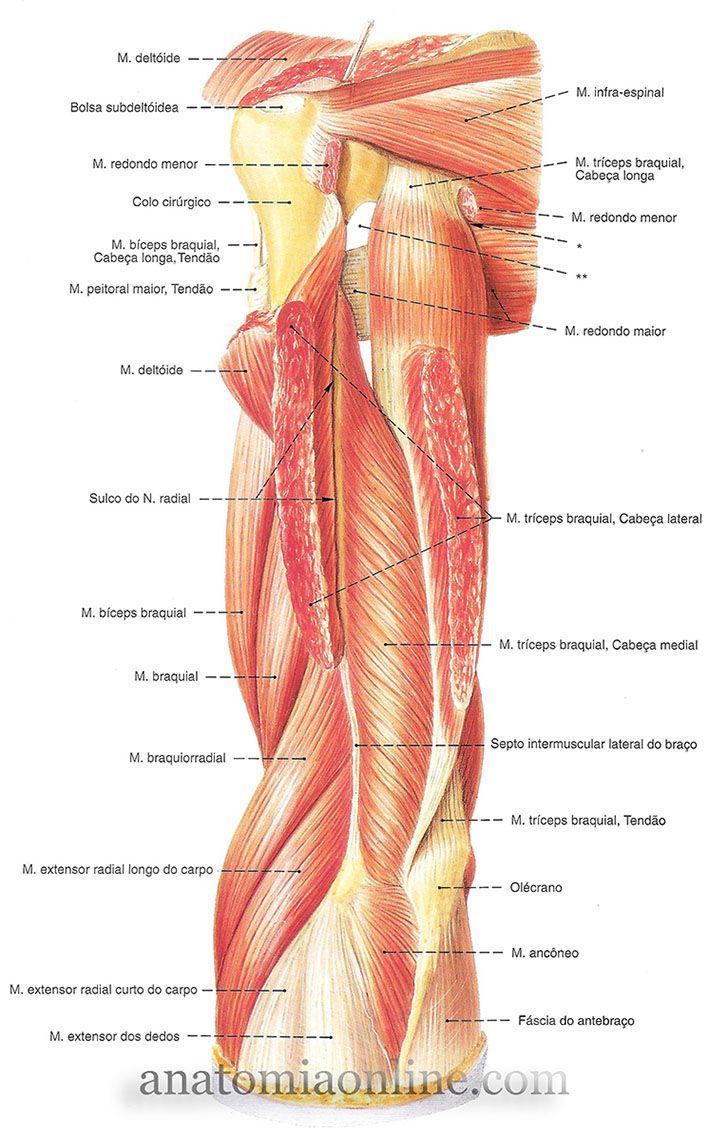 5 9 Superior7 Anatomia Corpo Humano Anatomia E Músculos
