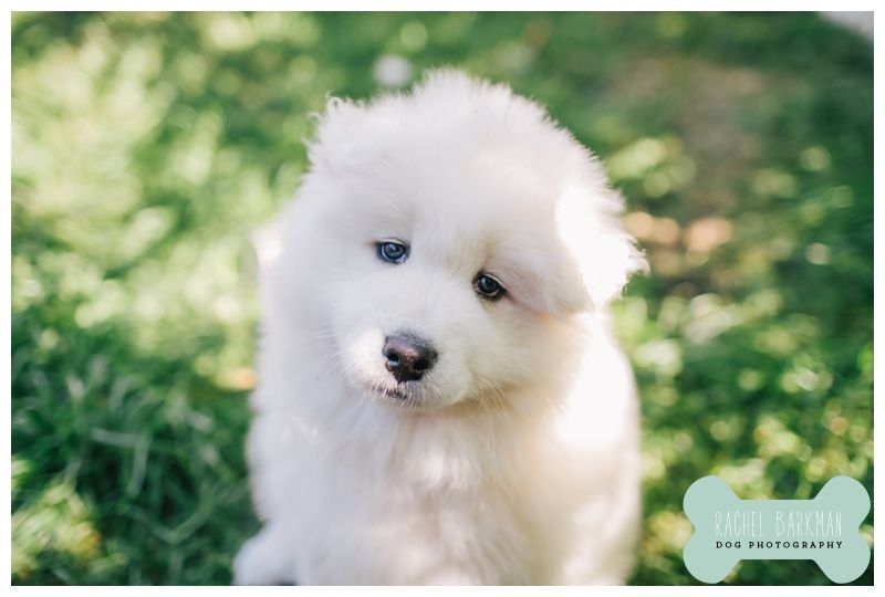 Samoyed Puppy With Blue Eyes My Future Puppy That Will Be Named