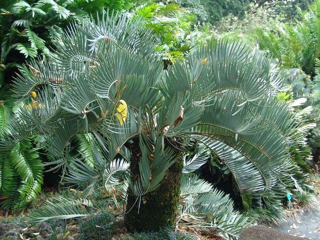 Encephalartos eugene maraisii waterberg cycad broodboom for Pflanzengestaltung garten