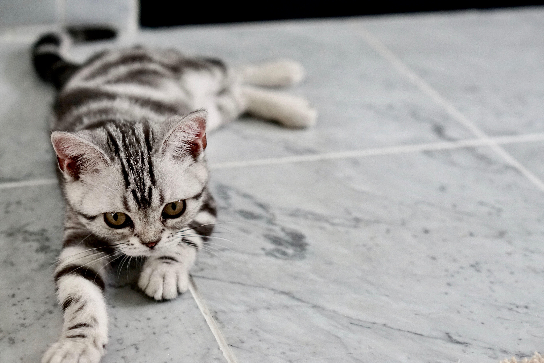 American Shorthair Cat Breeds 101 American Shorthair Kitten American Shorthair Cat Kittens Cutest
