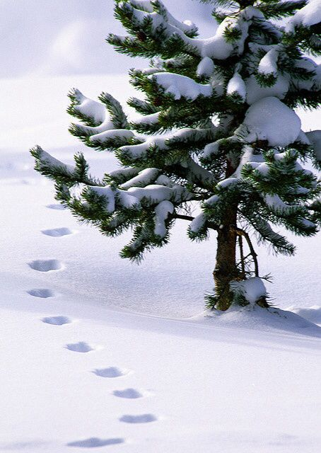 snow tracks and pine winter snow and footprints. Black Bedroom Furniture Sets. Home Design Ideas