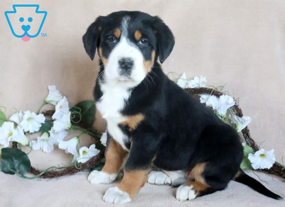 Buster | Swiss mountain dog puppy, Greater swiss mountain ...