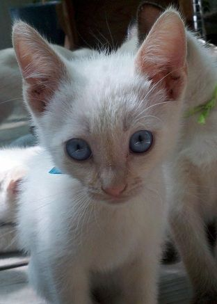 Frank Sinatra Look At Those Blue Eyes Red Point Siamese