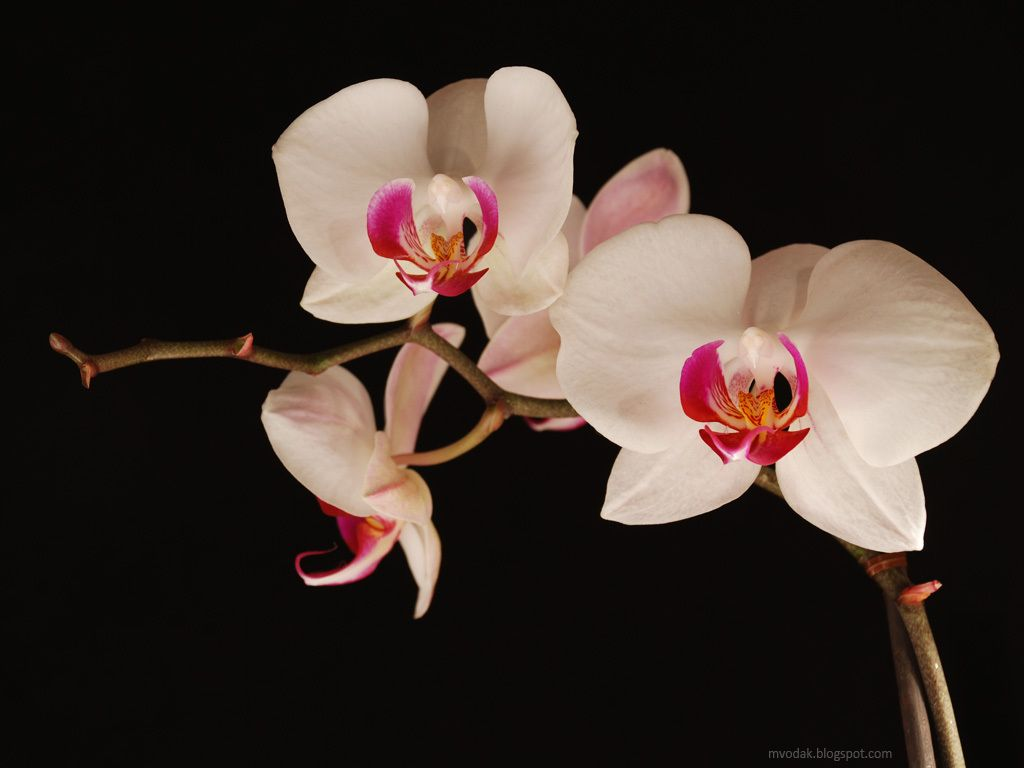 Wallpaper orchidee weiß  Flowers Wallpapers: Orchids Flowers Wallpapers | Orchids | Pinterest