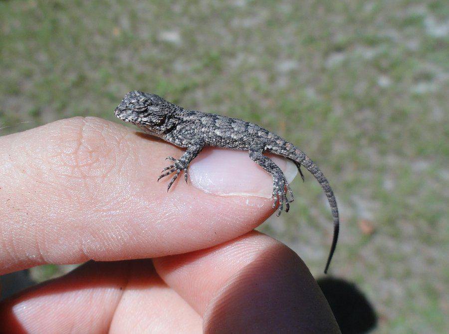 Eastern Fence Lizard Pictures Google Search The Great Outdoors