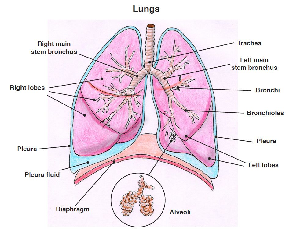 Lungs there are two thin layers of tissue called the pleura lungs there are two thin layers of tissue called the pleura covering each ccuart Image collections