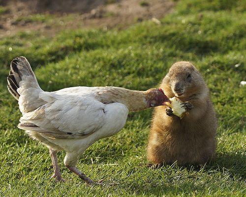 prairie dog | Flickr - Photo Sharing!