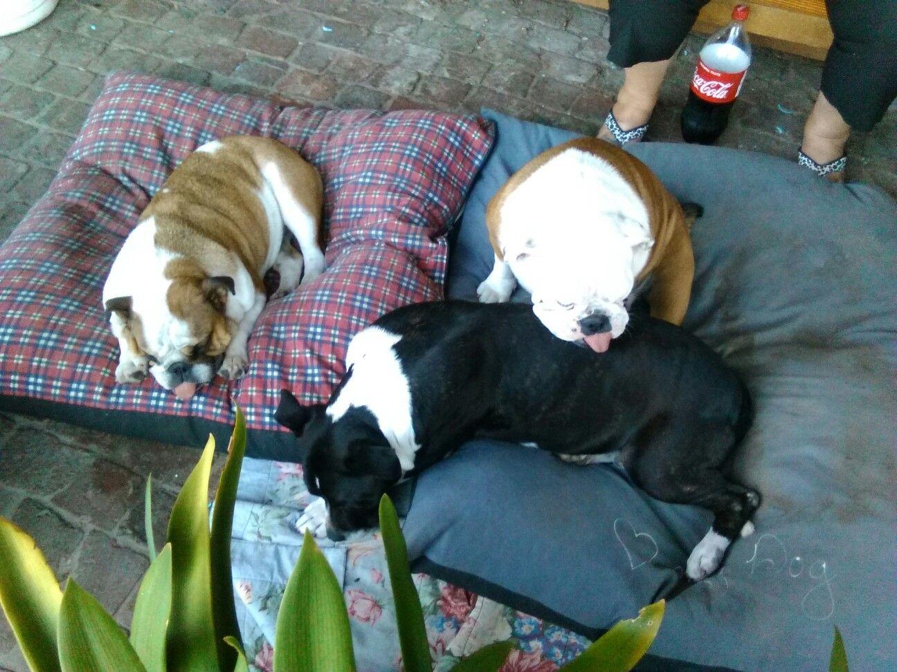 Lady katrien and lady gabby bulldogs pinterest