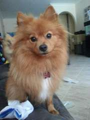4x Gorgeous Pomeranian Puppies Pomeranian Puppies For Sale
