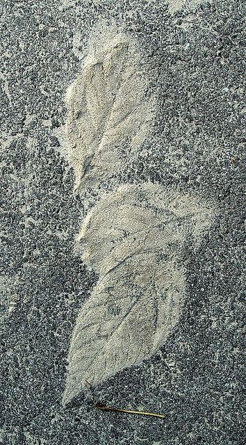 leavesinasphalt