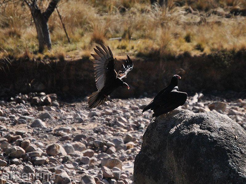 Condor llegando