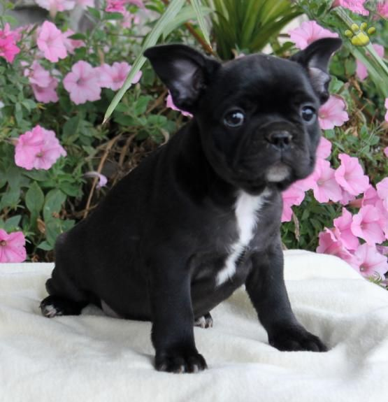 Siri French Bulldog Puppy For Sale In Holtwood Pa Lancaster