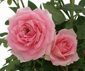 Overnight Scentsation The Most Fragrant Mini Rose Ever It Has