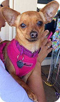 San Diego Ca Chihuahua Mix Meet Kalista A Dog For Adoption Chihuahua Dog Adoption