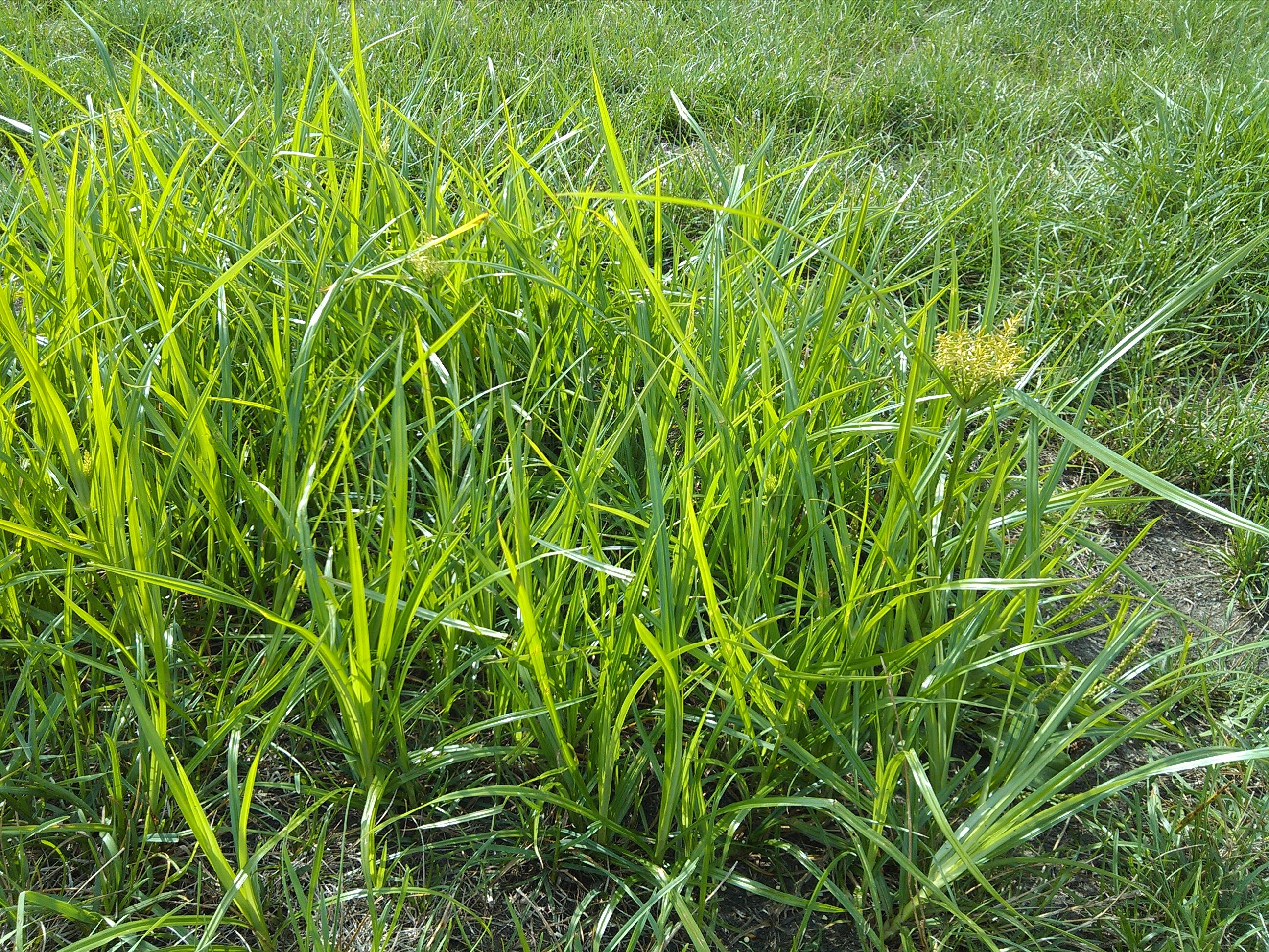 Nutsedge Is A Pesky Weed Like Perennial Plant That Can Reek Havoc On Your Lawn Learn More About This And The Best Ways To Rid Of It
