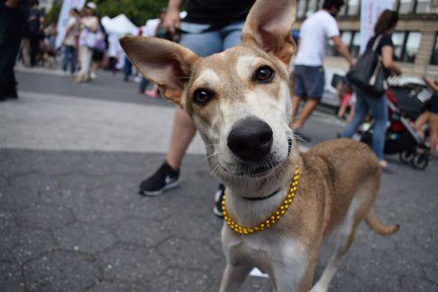 Pharaoh Hound dog for Adoption in NYC, NY. ADN-669922 on ...
