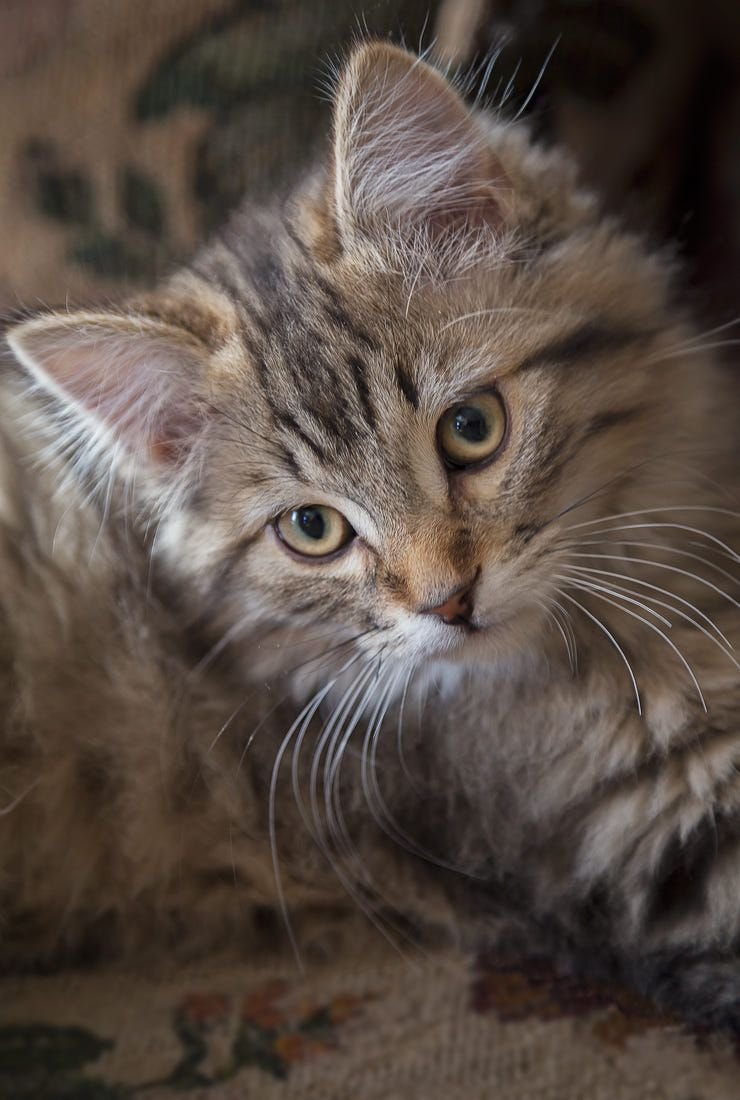 Pilou I Am Shooting My Kitten This Time Because He Is Growing So Fast And I Like So Much Kitten Shots Je M Excuse De P Katzen Niedliche Katzchen Susse Katzen