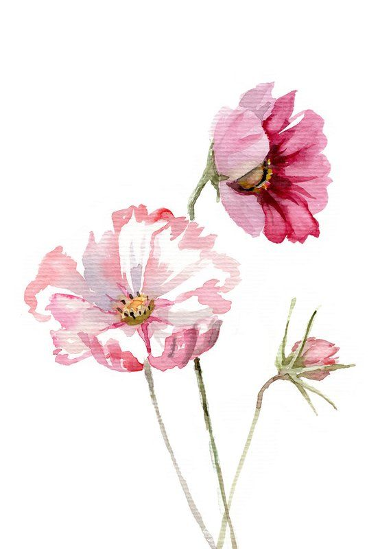 Cosmos Flower Watercolor Botanic Painting Giclee Print Etsy Flower Drawing Watercolor Flowers Flower Painting