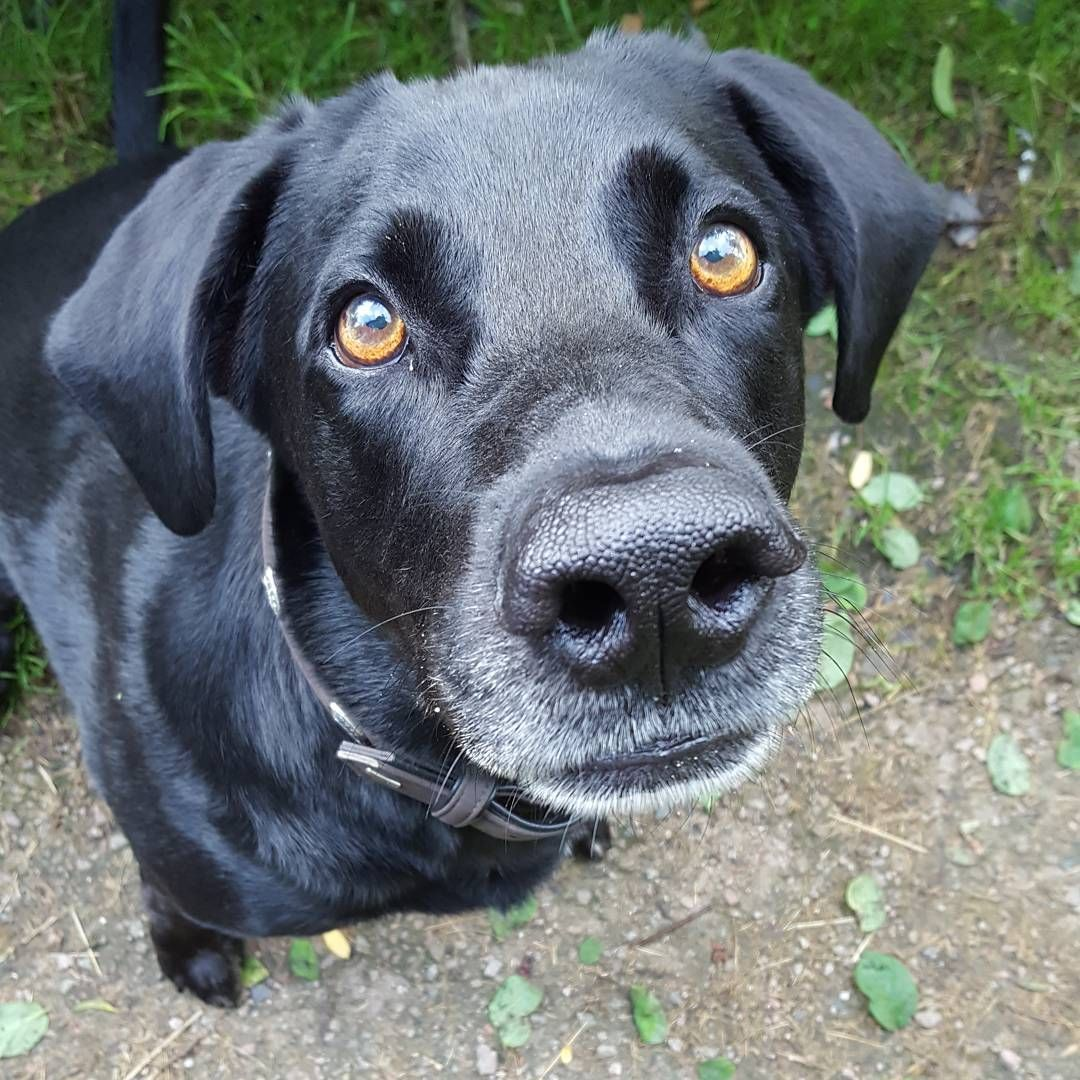 Grusse Von Der Morgenrunde Bitte Den Fr Labrador Animals Retriever