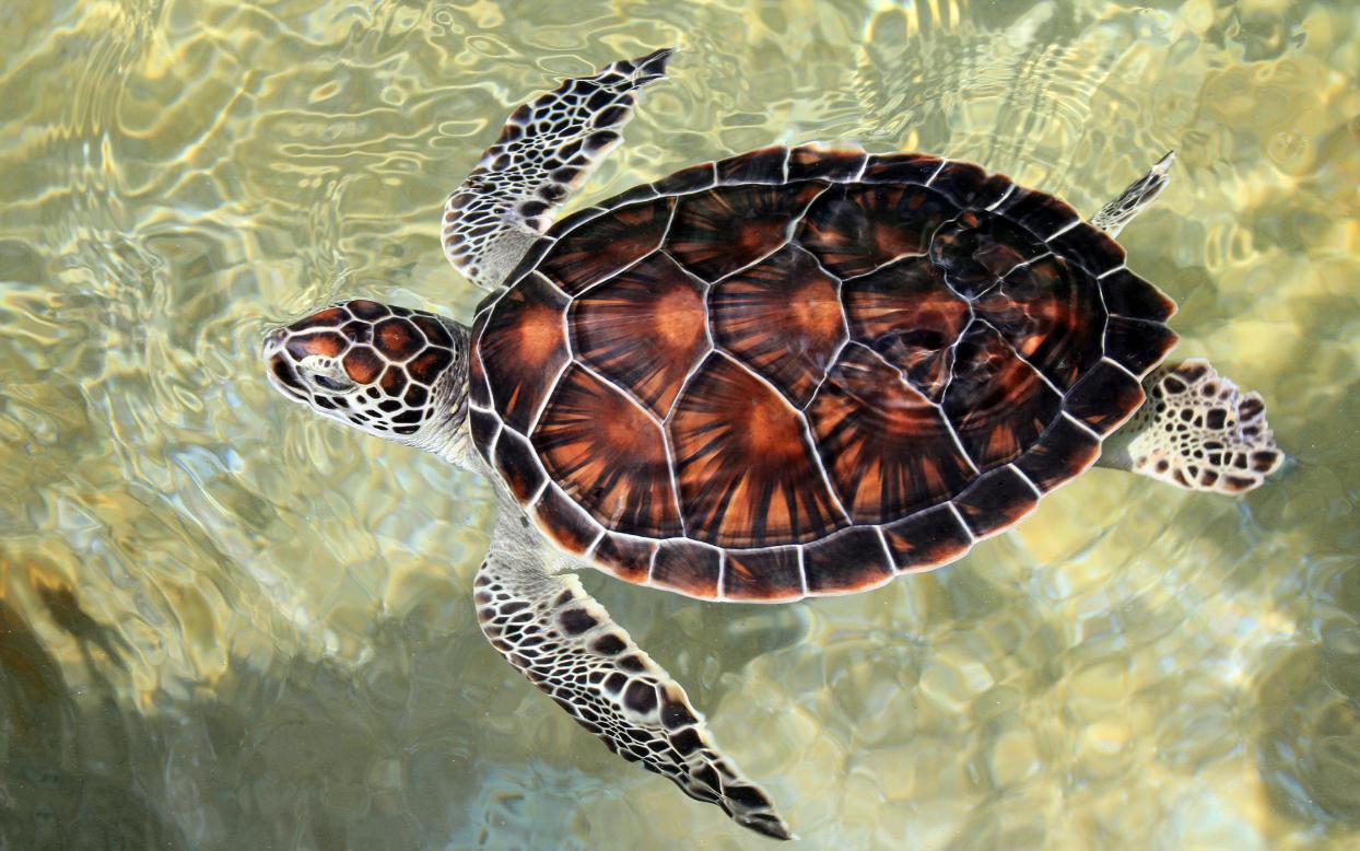 Cayman Turtle Sea Turtle Pictures Sea Turtle Art Turtle Art