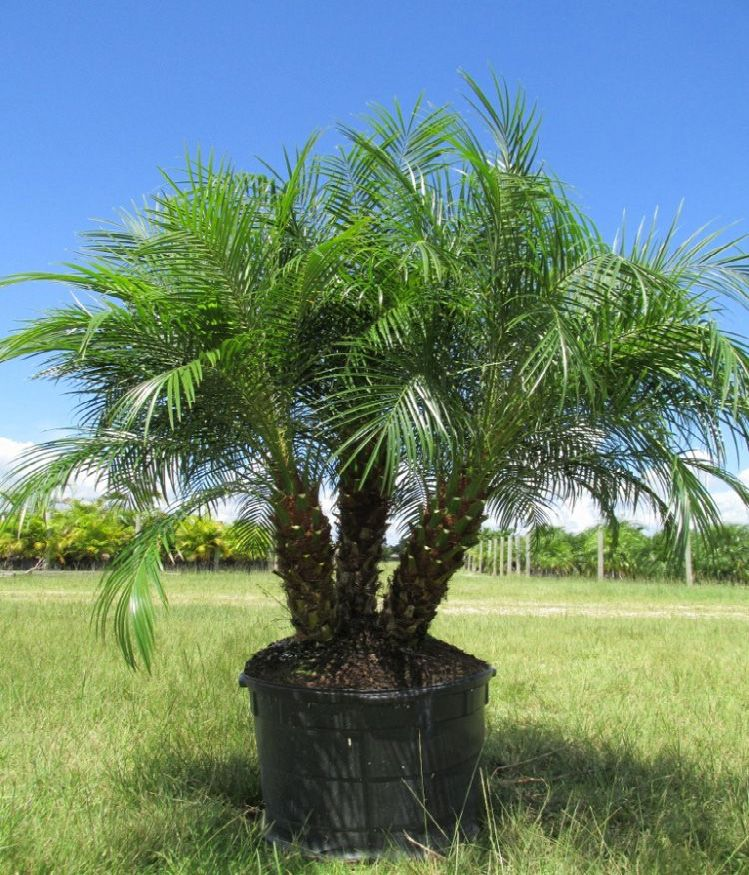 The Pygmy Date Palm Tree, Phoenix Roebelenii, Is A Very
