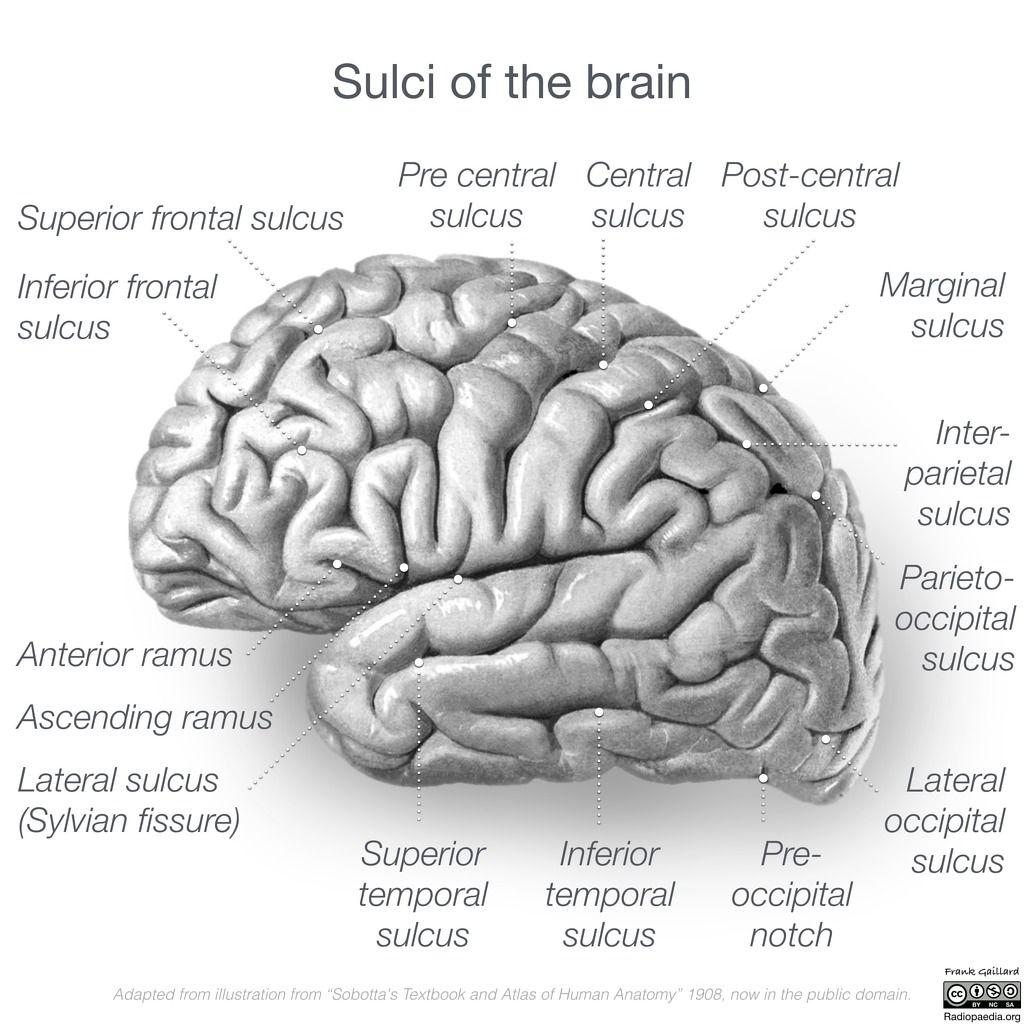 Great range of neuroanatomy illustrations. http://radiopaedia.org ...