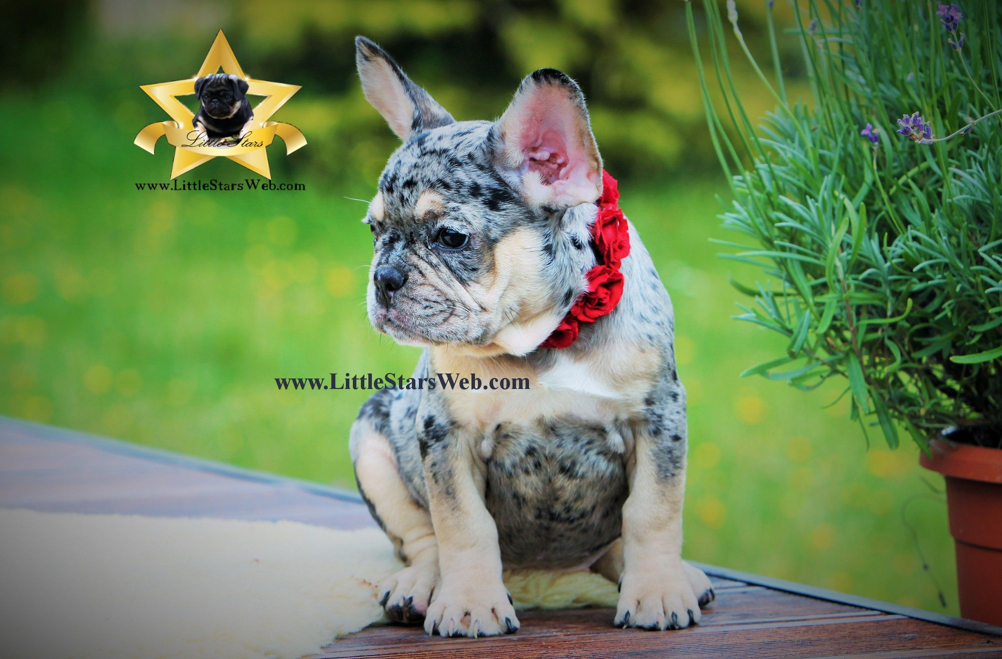 Little Stars Blue Tan French Bulldog Little Stars Breed Of Pugs And French Bulldogs In Rare Colo Cute French Bulldog French Bulldog French Bulldog Puppies