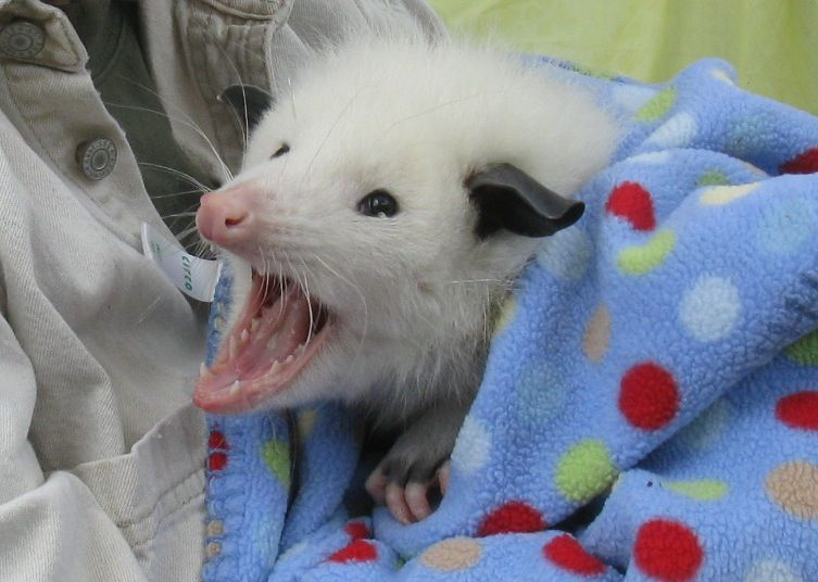 "opossummypossum: ""Lucy, the white opossum at San Francisco Zoo. "" there is goodness in the world"