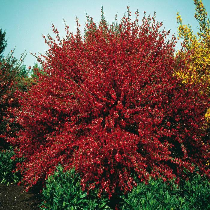 Cytisus praecox Hollandia red broom 1 shrub Buy online