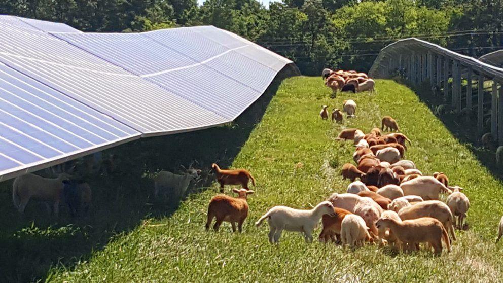 Sheep And Solar Farming Sheep Graze Between Rows Of Solar Panels Solar Farm Solar Farm
