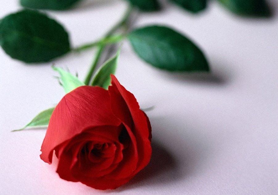 Background Bunga Mawar Download
