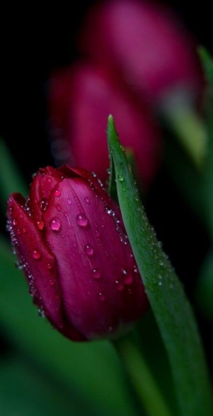 Pin By Elio Petruncelli On Flowers Tulips Flowers Nature Tulips Flowers