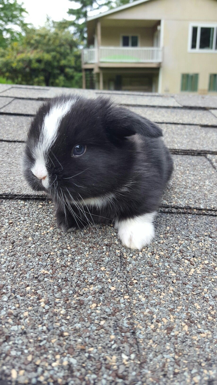 Cheap Bunnies : cheap, bunnies, Black, Vienna, Marked, Holland, Check, Bunnies, Bluecloverrabbitry.weebly.com, Bunny, Pictures,, Animals, Funny,