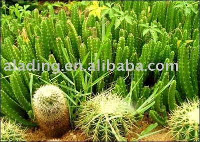 Caralluma Fimbriata Spanish With Images Herbal Plants Natural