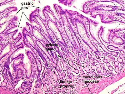 Stomach Histology Histo Pinterest