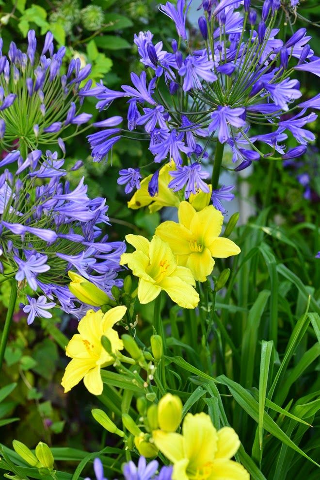 Impressive Agapanthus With Daylilies 'Green Flutter' With
