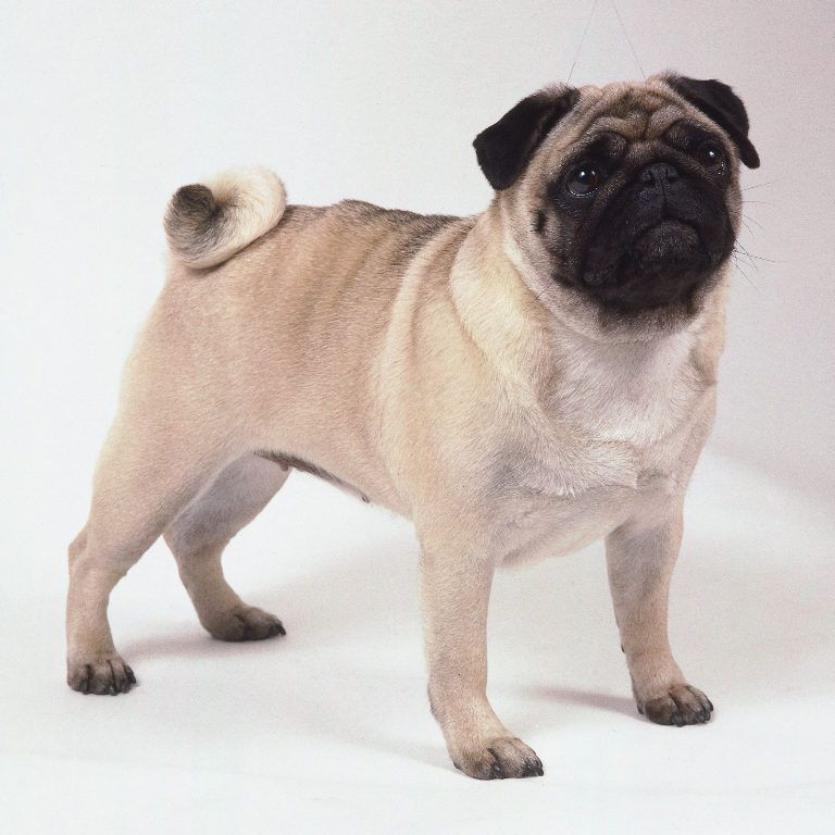 Pug Dogs For Sale These Dogs Are From Top Of The Line Pure Bred