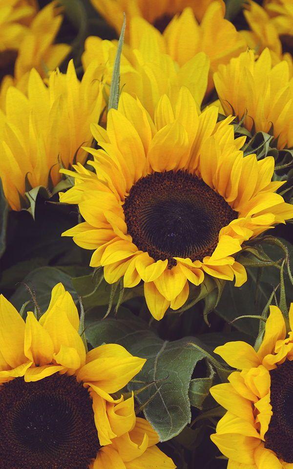 Sunflower Yellow Wallpaper   Retro Floral Design ...