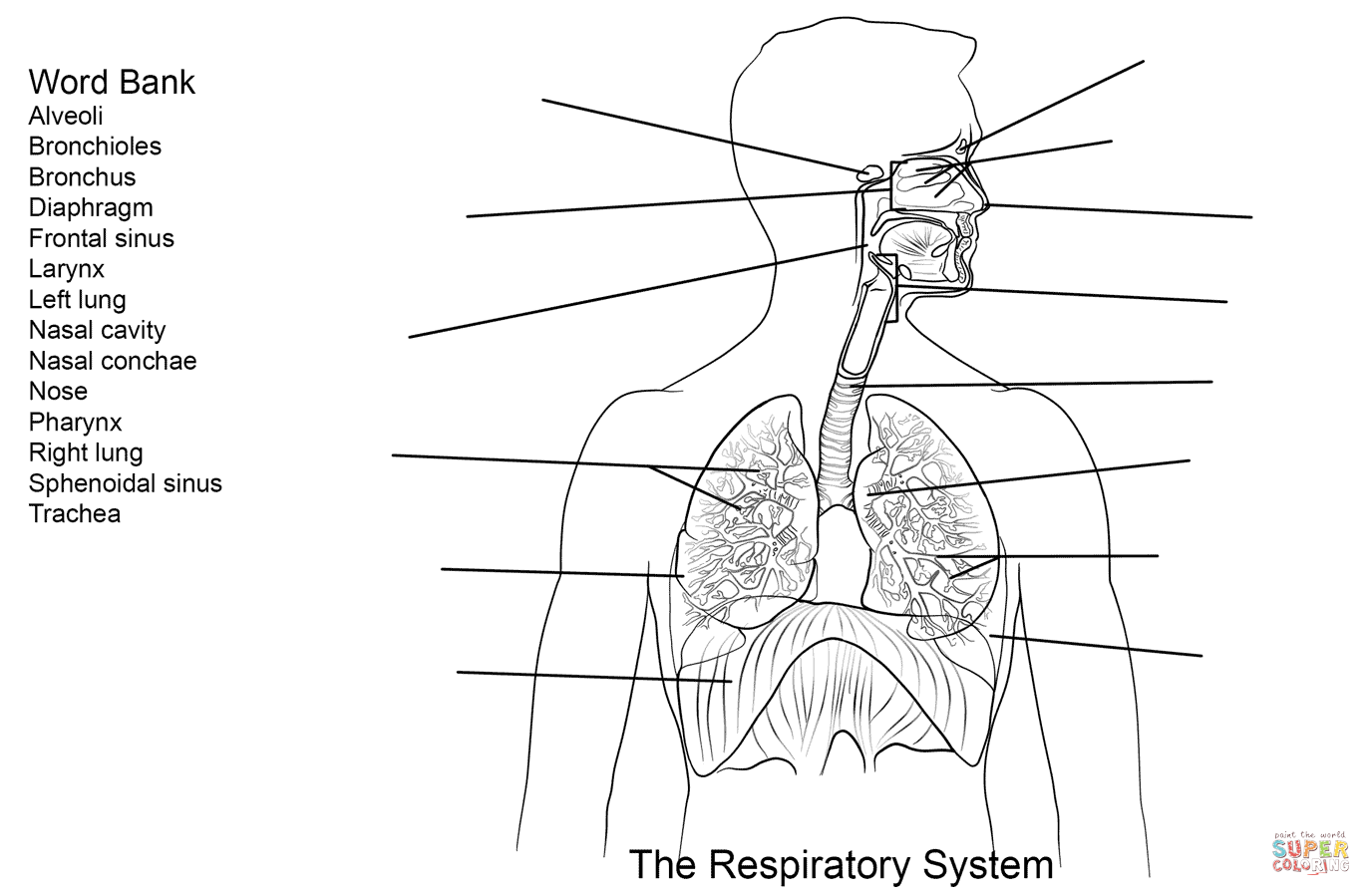 Respiratory System Coloring Pages Respiratory [ 899 x 1375 Pixel ]