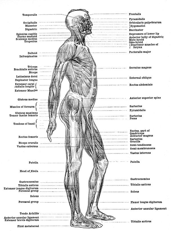 human anatomy muscles - muscles of the body - back view, Muscles