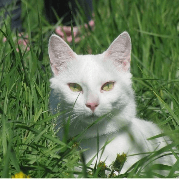 White cat deafness Causes and detection Albino cat