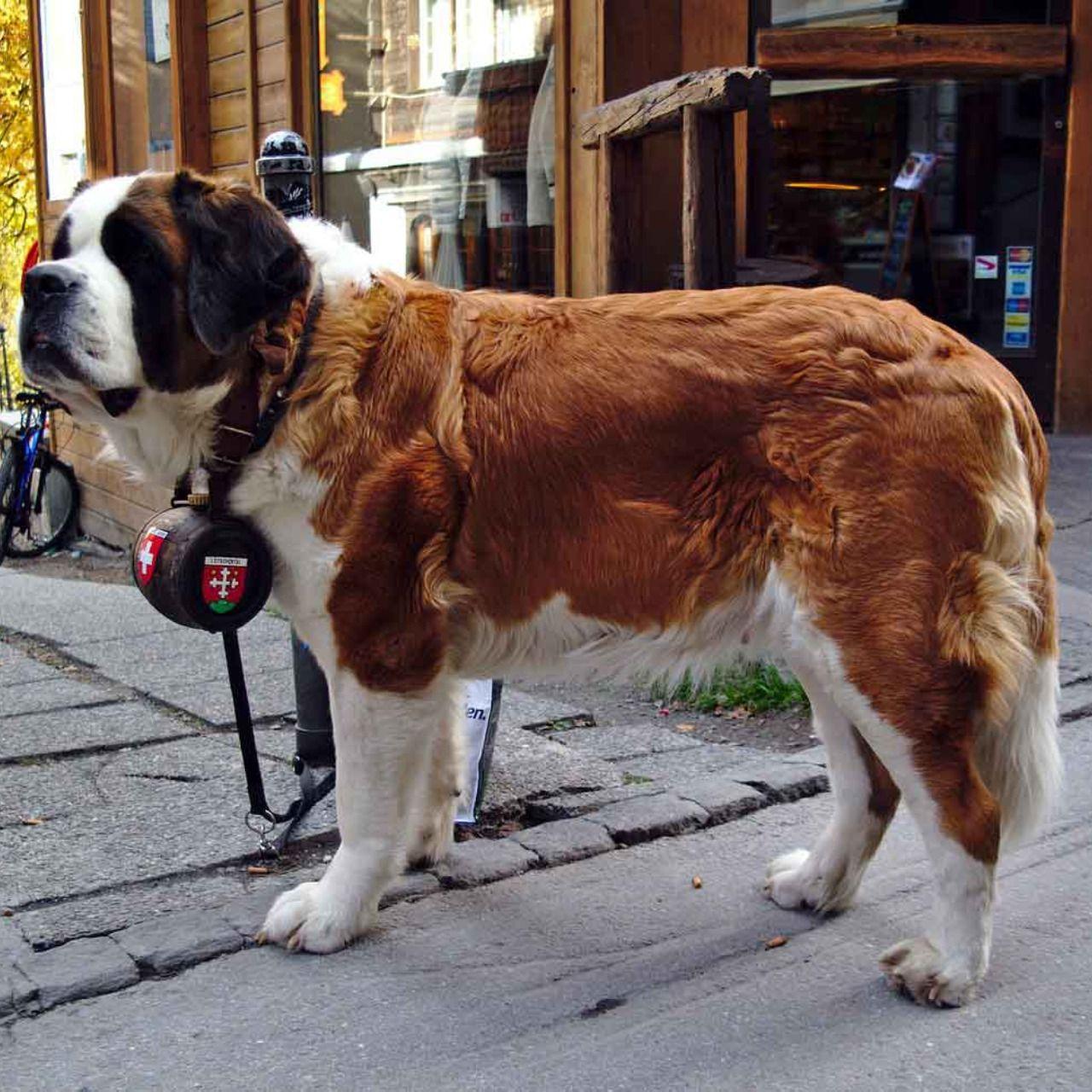 Newfoundland puppy rescue colorado