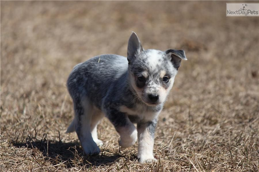 Australian Cattle Dog Blue Heeler Puppy For Sale Near Grand Rapids