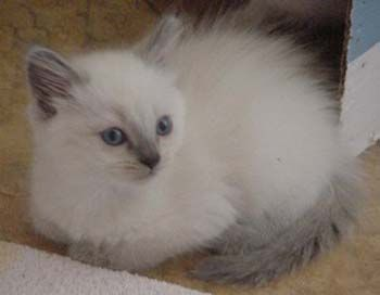Balinese Kittens For Sale Balinese Breeder In Louisiana Siamese Kittens Siamese Cats Balinese Cat
