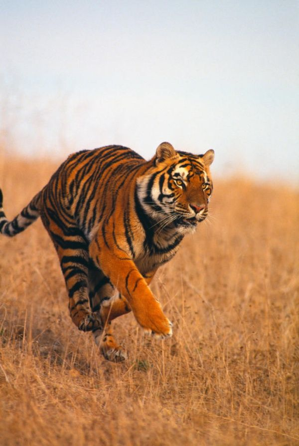 Together they constitute the largest area of tropical evergreen forest in. Top 9 Animals Found In Tropical Evergreen Forest Tropical Animals Pet Tiger Animals