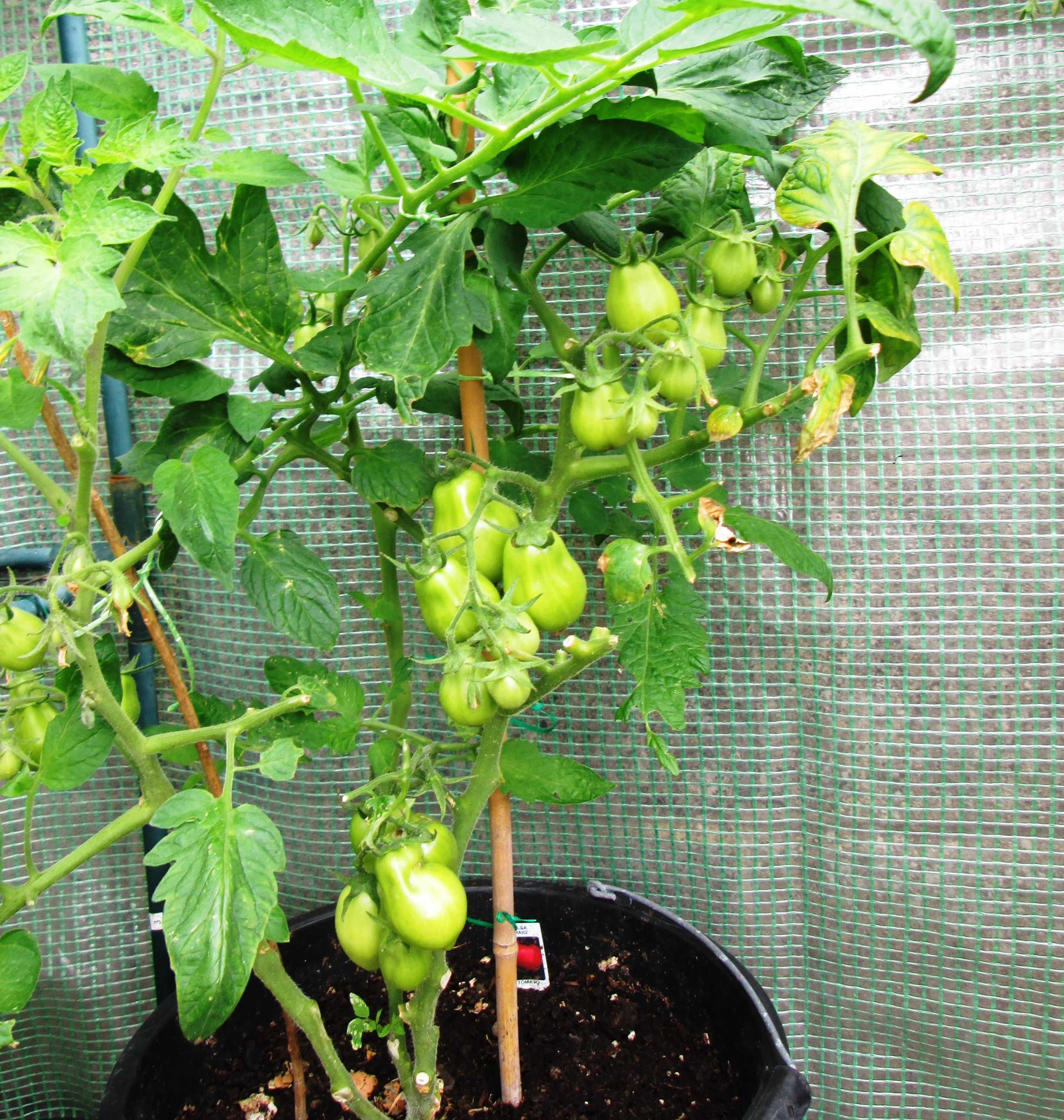 How to grow tomato plants in containers and hanging