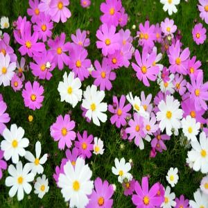 Cosmos Dwarf Mix Seeds Wild Seed Seeds Plant Guide