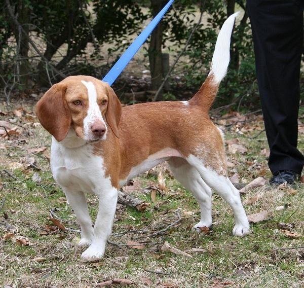 Adopt Blondie Floyd On Animals Adoptable Beagle Beagle Rescue