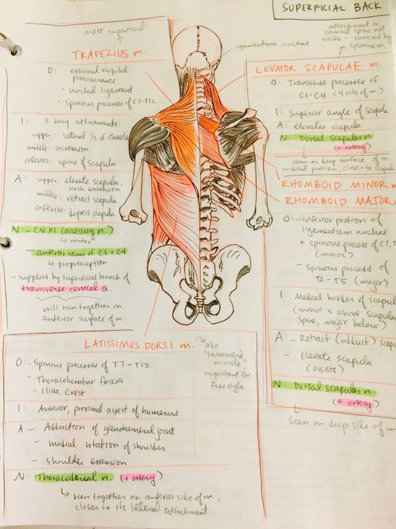 Pin de Carmela Diaz Chaves en ESTUDIO | Pinterest | Anatomía ...