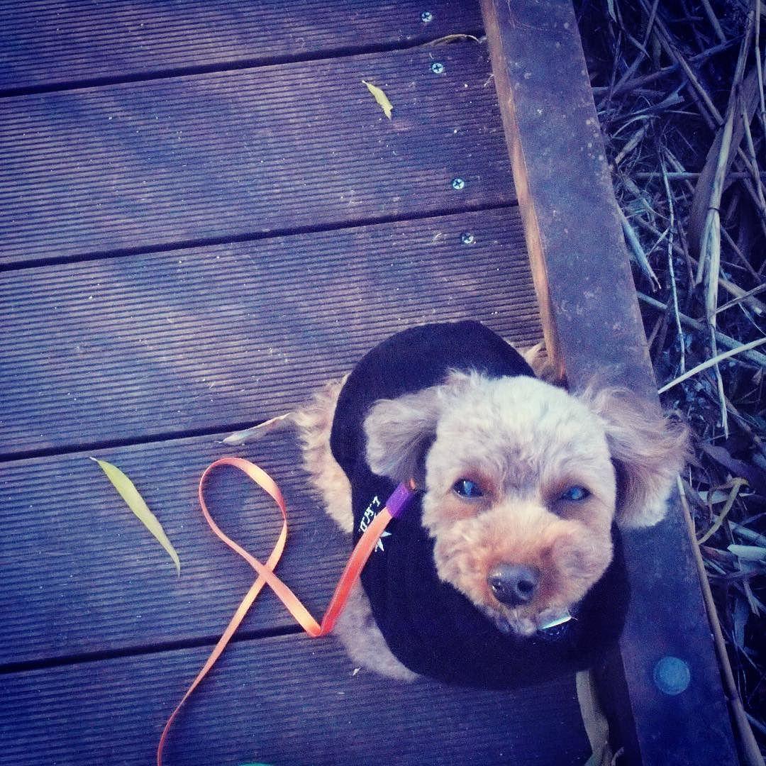 さむーい  #wooftoday #toypoodle #dog #poodle #doginstagram #ilovemydog #dogstagram #mydogiscutest #dogsofinstagram #cutedog #smalldog #犬 #トイプードル